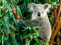 Bears Koalas Animals