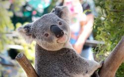 ... Koala Wallpaper; Koala Wallpaper