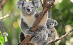 HD Wallpaper   Background ID:398787. 1920x1200 Animal Koala