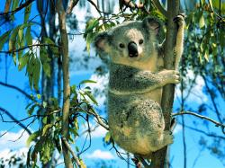 cute-koala-bear-animals-wallpapers ...
