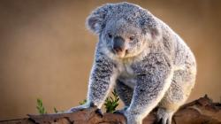 HD Wallpaper | Background ID:268412. 1920x1080 Animal Koala