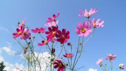 1920x1080 Wallpaper kosmeya, flowers, sky, meadow, sunny