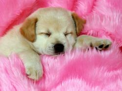 Labrador Puppy Sleeping