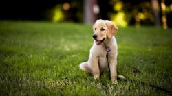 12 Fantastic HD Labrador Wallpapers
