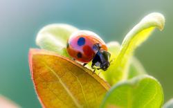 Lady Beetle Leaves