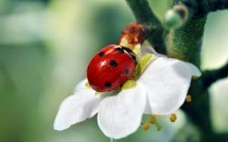 Ladybird white flower