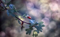 Ladybug Insect Branch Bokeh