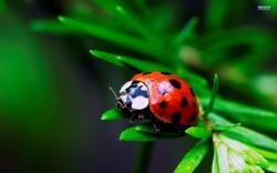 Ladybug wallpaper 1920x1200 jpg