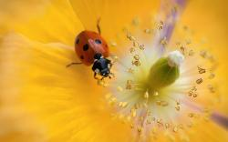 Ladybug yellow flower