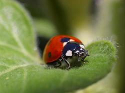 I expected the ladybugs to eat all the aphids with audible chewing noises until not a single one remained.