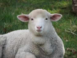 fat lamb   by BotheredByBees fat lamb   by BotheredByBees