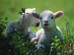 If you care about those lambs who were killed for their meat, and believe that animals should not be harmed unnecessarily, then please spare a ...