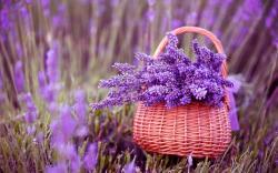 ... basket, lavender, purple lowers, spring, macro photo, fullscreen