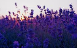 ... Lavender Flowers Wallpapers. These desktop wallpapers are high definition and available in wide range of sizes and resolutions.