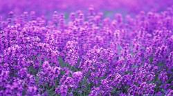 ... 2560×1920. Lavender Poppy Wallpapers