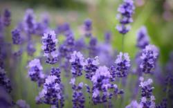lavender flowers field purple bouquet