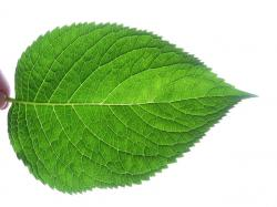 ... Leaf fractal like   by curran.kelleher