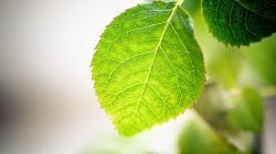 Nice Green Leaf