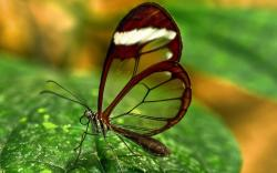 Butterfly on Leaf - Wallpaper