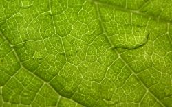 Windows Vista Leaf Closeup