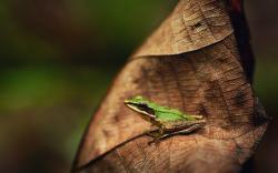 Leaf Frog Nature Macro Photo