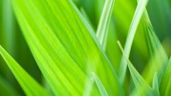 Grass Leaf Closeup