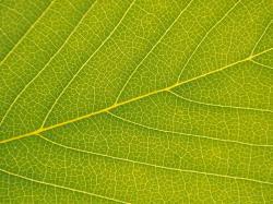 Veins of a leaf macro veins detailed leaves