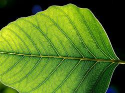 File:Green leaf leaves.jpg