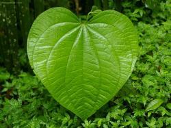 Big-Leaf-1024-565253