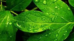 Green Leaves Hd Wallpaper-1