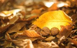 Leaves Yellow Dry Fall Nuts Walnuts