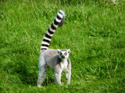 ... Ring-tailed Lemur-Madagascar National Animal | Wallpapers9 ...