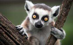 Lemur Wallpapers