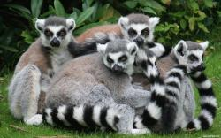 Lemurs Wallpaper #51266 - Resolution 1920x1200 px