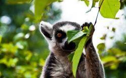 Lemur Wallpaper; Lemur Wallpaper; Lemur Wallpaper ...