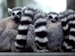 Large Lemur Wallpapers Lemur Wallpapers