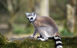 ... Lemur Wallpaper ...