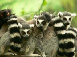 free Lemur wallpaper wallpapers and background