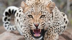 ... Leopard #05 Image ...
