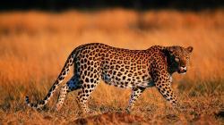 3840x2160 Wallpaper leopard, walking, grass, hunting, predator, big cat