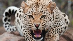 Wild Animals Leopard
