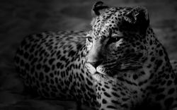 Vip New Leopard Wallpaper Iphone for Desktop 1920x1200px