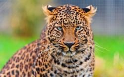 Leopard Hypnotic Look Wallpaper