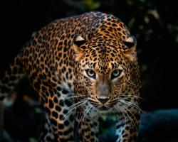 Description: The Wallpaper above is Leopard look Wallpaper in Resolution 1280x1024. Choose your Resolution and Download Leopard look Wallpaper