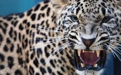 leopard predator jaws teeth wallpaper background