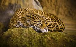 Sleep Leopard Wallpaper