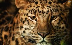 Leopard Wallpaper 13