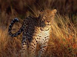 Amur Leopard Wallpapers; BW Leopard Wallpaper; Leopard ...