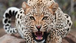 Leopard Wallpaper HD Free Download