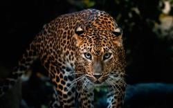 White Leopard Wallpaper And Black Black Leopard Wallpaper Hd Android